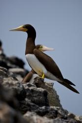 Resultado de imagem para Aves Marinhas das Ilhas Tinhosas