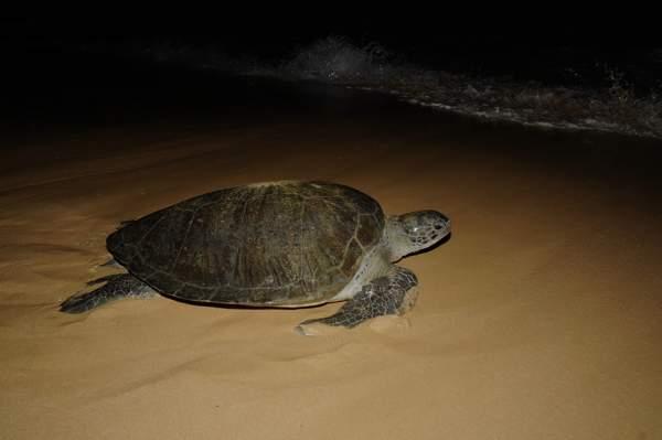 Resultado de imagem para tartaruga de sao tome e principe
